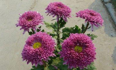 5本菊紫龙爪