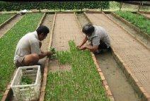 沙床扦插苗