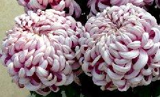 菊花的花期控制和无土栽培